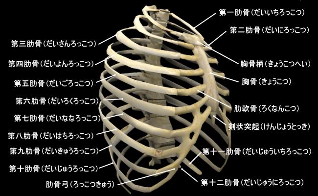 rib-1